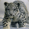 pewterleopard