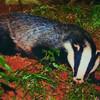 badger692