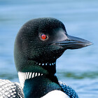 Loon-Images