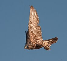 Peregrine Falcon and victim by Marvin Collins