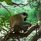 Vervet Monkey Eating by Ville Vuorinen