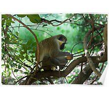 Vervet Monkey Eating Poster