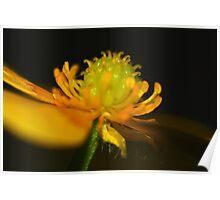 Ranunculus lappaceus Poster