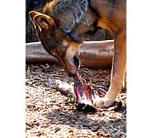Hungry Wolf Photographic Print