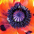 Poppy by kels72