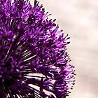 Allium by sherylb1