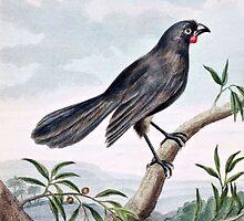 Wattlebird Vintage Bird Illustration by goldenmenagerie