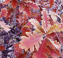 First frost on Oak Leaves by Margot Ardourel