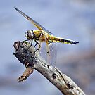 Four-Spotted Chaser Dragonfly - Libellula quadrima by Alice Gosling
