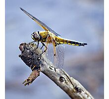 Four-Spotted Chaser Dragonfly - Libellula quadrima Photographic Print