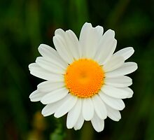 Ox-Eye Daisy, Manfield Scar, River Tees, England by Ian Alex Blease