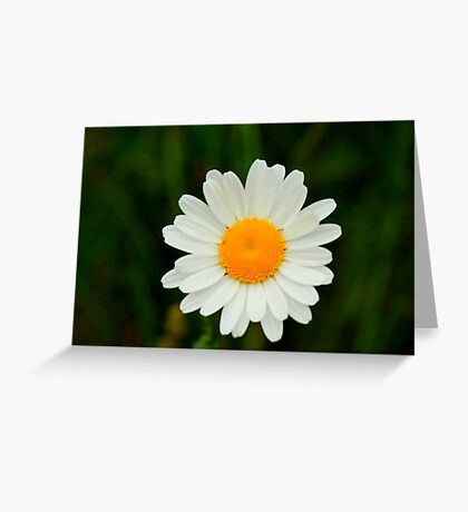 Ox-Eye Daisy, Manfield Scar, River Tees, England Greeting Card