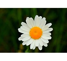 Ox-Eye Daisy, Manfield Scar, River Tees, England Photographic Print