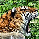 AMUR TIGER ~ Endangered by Clive