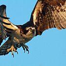 Osprey -Landing! by jozi1