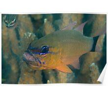Cardinalfish with Eggs Poster