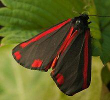 Cinnabar Moth by Daniel Yates