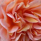 Pink Frills by JacquiK