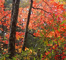 AUTUMN MAPLE AND RHODODENDRON by Chuck Wickham