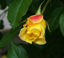 Yellow Rose by James Brotherton