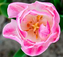 Open Pink and White Tulip by Gary Chapple