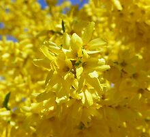 Spring Forsythia by MaryinMaine