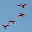 Roseate spoonbills in flight by jozi1