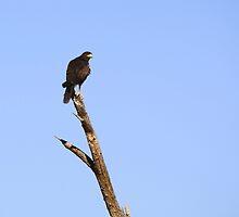 Harris's Hawk by Sherry Pundt
