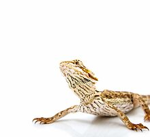 Large Bearded Dragon - pogona vitticeps by Linda Swadling