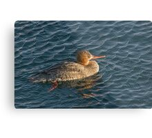 Female Red Breasted Merganser in Rippling Blue Water Metal Print