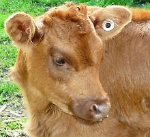 Poddy calf - Stokes' Farm , Kirkstall by EdsMum
