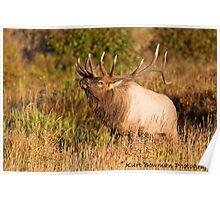 Bull Elk 1 Poster