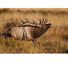 Bull Elk 2 Photographic Print