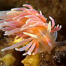 Phyllodesmium serratum by MattTworkowski