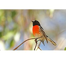 Male Scarlet Robin Photographic Print
