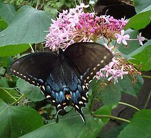 Black Eastern Swallowtail - Summer's End by May Lattanzio