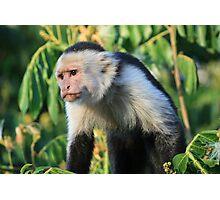 Capuchin in the jungle Photographic Print