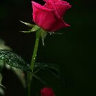 Single Rose by Eileen McVey