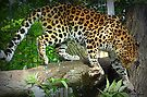 Leopard on the Prowl by naturelover