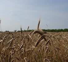 wheat by szala