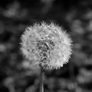 Dandelion by Dhruba Tamuli