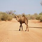 Camel near Chambers Pillar Northern Territory by Steve Bass