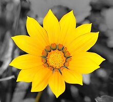 Yellow Flower with Black and White background by Dhruba Tamuli