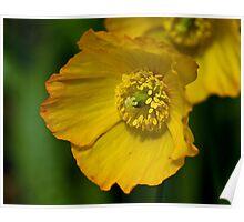 Yellow Poppy Flower Poster