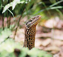 Goanna-Arnhem Land Northern Territory by Steve Bass