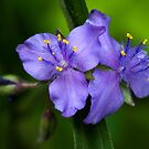 Spiderwort by Jane Best