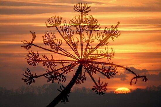 Hogweed Winter Sunrise #2 by Jo Nijenhuis