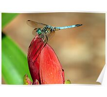 Male Blue Dasher Dragon Fly Poster