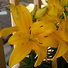Yellow Lily On My Balcony by fchagora