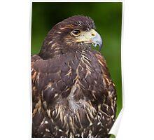 Harris's Hawk (Parabuteo unicinctus) Poster